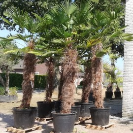 Trachycarpus wagnerianus, trunk 160 cm, total over 3 m