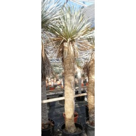 Yucca rostrata trunk/plant/total 180/225/250 cm (25R13)